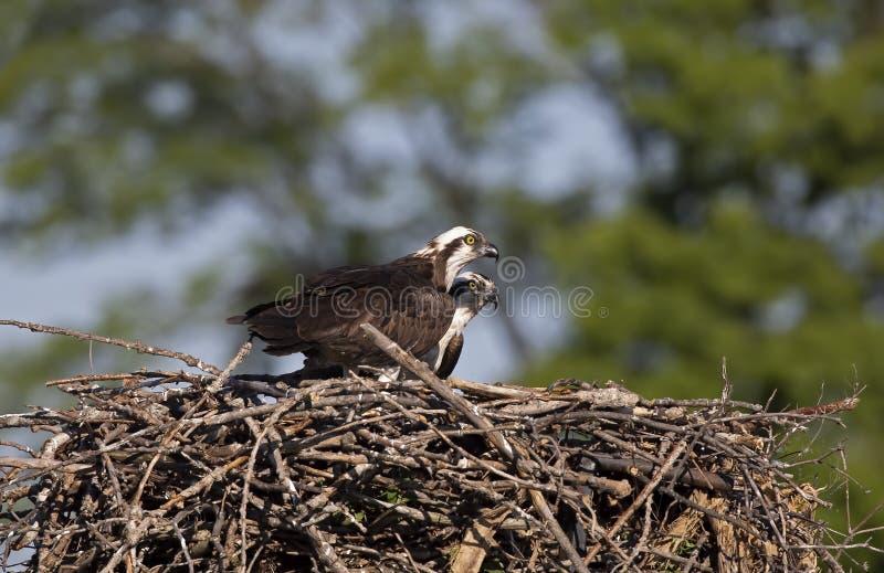 Een haliaetus van Visarendpandion op het nest die de kuikens beschermen en voor roofdieren opletten stock afbeeldingen