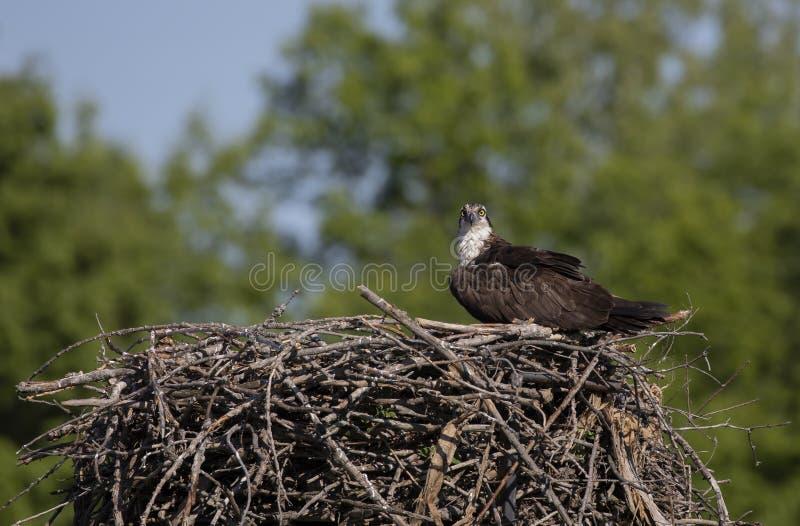 Een haliaetus van Visarendpandion op het nest die de kuikens beschermen en voor roofdieren opletten stock afbeelding