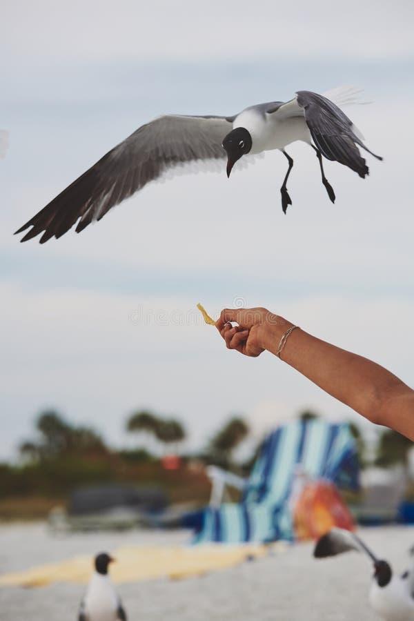 Een hand die een zeevogel voeden stock foto