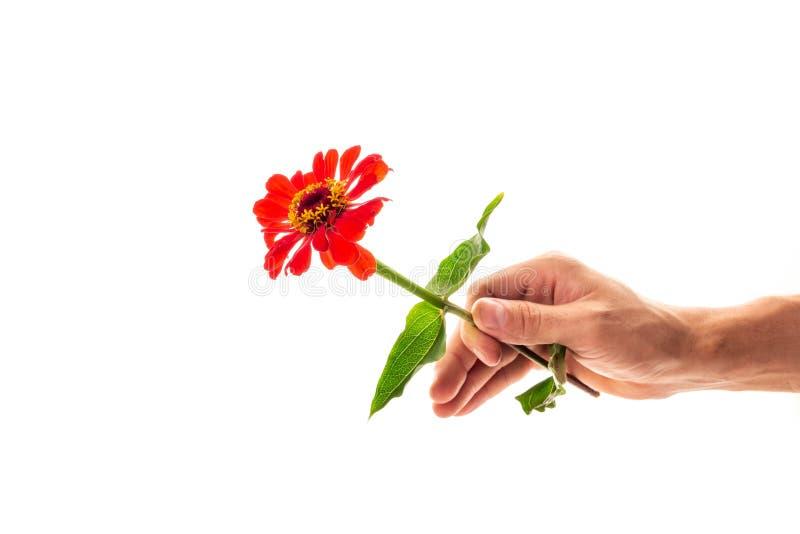 Een hand met een bloeiende zinnia-bloem, geïsoleerd op witte achtergrond. Een bloem als geschenk en symbool van liefde royalty-vrije stock afbeeldingen