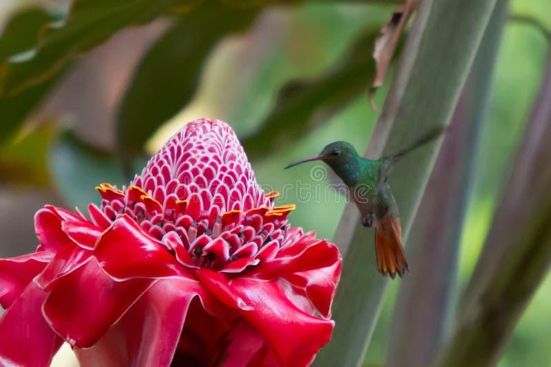 Een Helaconia-bloem met een Kolibrie. royalty-vrije stock foto's