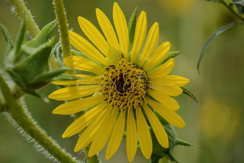 Een Heldere Gele Wildflower in Bloei stock foto