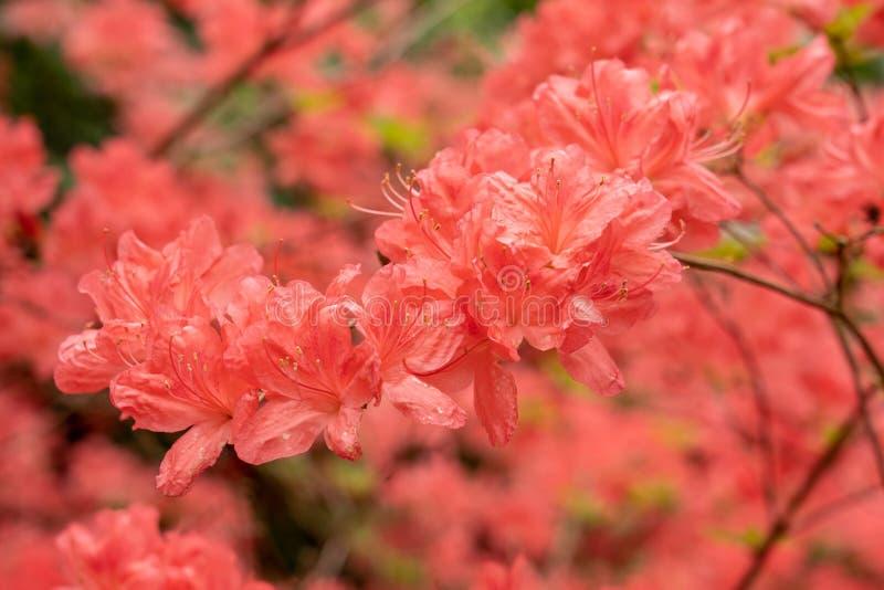 Een heldere rode Azalea-bloem royalty-vrije stock afbeeldingen