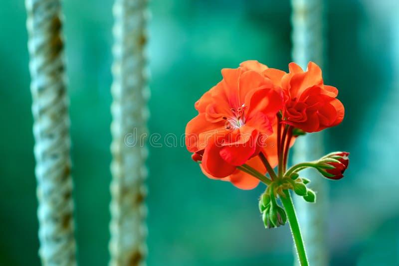 Een heldere rode geraniumbloem die tegen een roestige roosterachtergrond als symbool van wedergeboorte, vernieuwing en welvaart b royalty-vrije stock foto