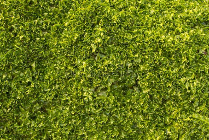 Een heldergroen vers nat algenclose-up Saladegroenten Natuurlijke oppervlakte royalty-vrije stock foto