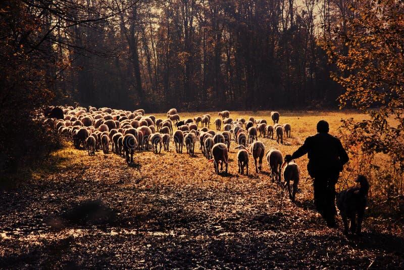 Een herder stock foto's