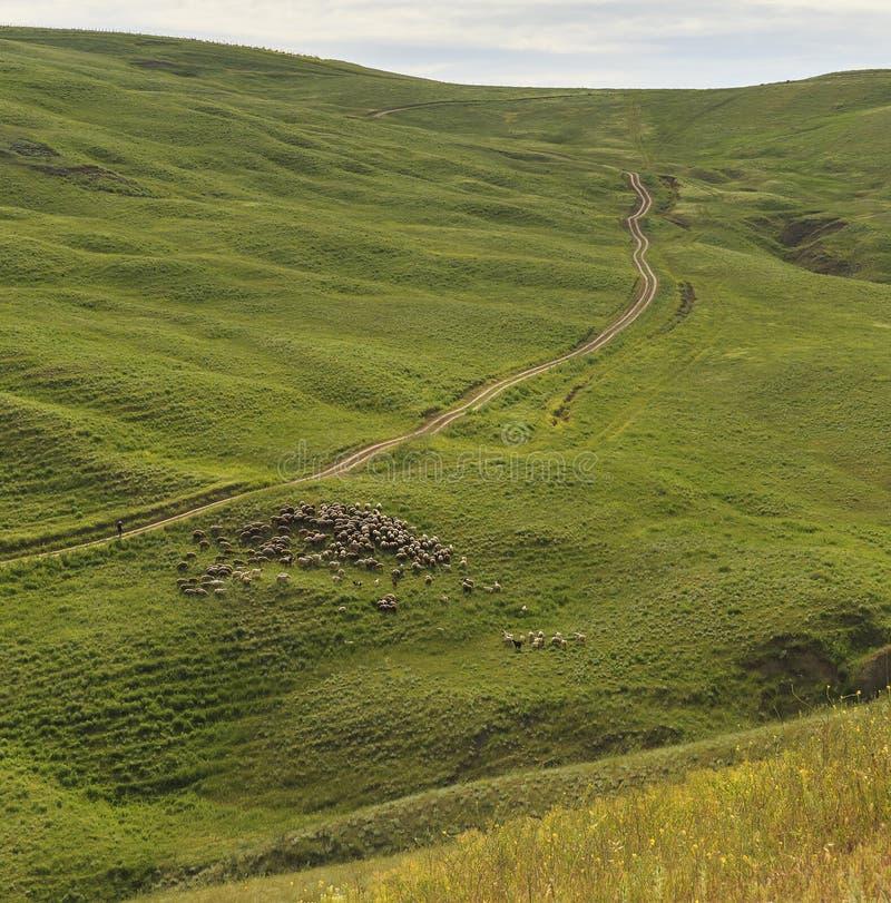 Een herder die een troep van schapen in de bergen van Gobustan neigen royalty-vrije stock afbeeldingen