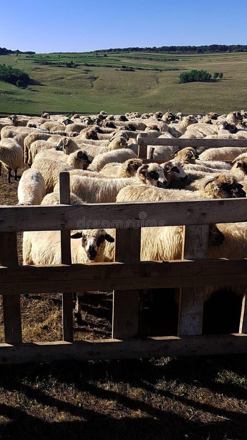Een herp van sheeps stock afbeelding