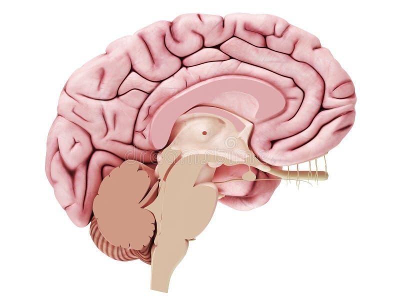 Een hersenendwarsdoorsnede royalty-vrije illustratie
