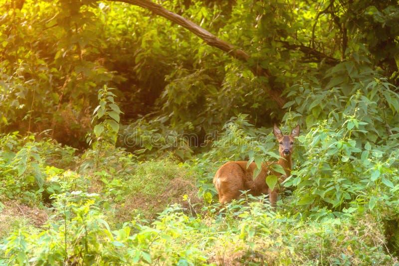 Een hert bij zonsondergang in het kreupelhout royalty-vrije stock fotografie