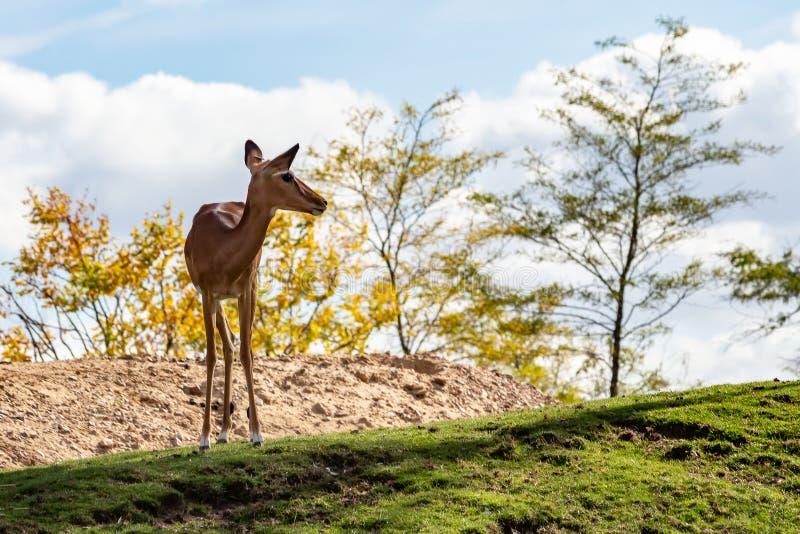 Een hert boven op een heuvel in dierlijke parkonbewerkte grond, Emmen, Nederland stock foto