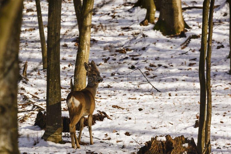 een hert dat verbergt stock fotografie