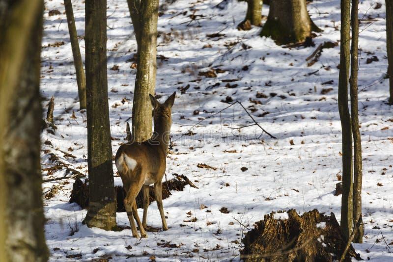 een hert dat verbergt stock foto