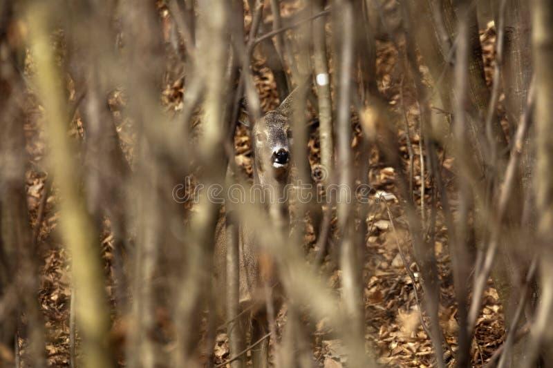 een hert dat verbergt stock afbeeldingen