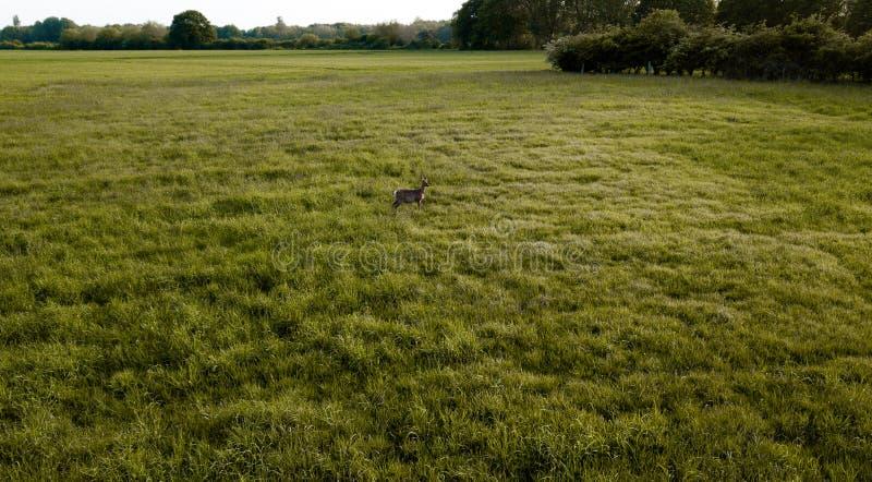 Een Hert die zich in het midden van een groen gebied bevinden stock foto