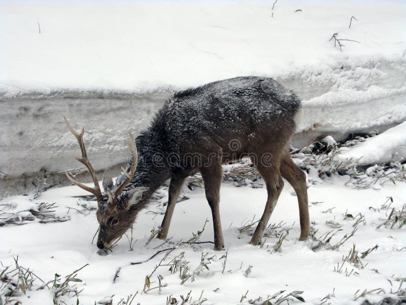 Een hert in het Nationale Park van Shiretoko van Hokkaido, Japan wordt gevonden dat stock foto's