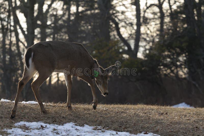 Een Hert loopt royalty-vrije stock foto
