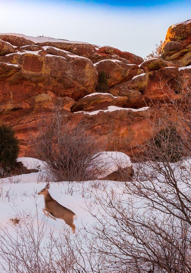Een hert springt voor zandsteenrotsen royalty-vrije stock fotografie