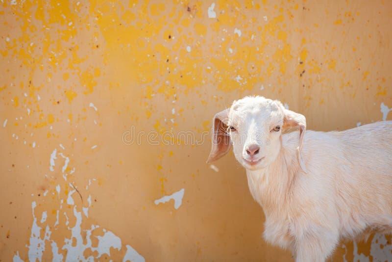 Download Een het grijnzen geit stock afbeelding. Afbeelding bestaande uit nave - 54078531