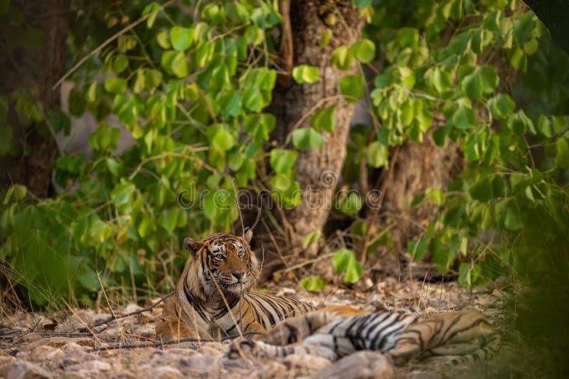 Een het koppelen paar tijgers die na rondes van het koppelen tussen deze twee tijgers bij ranthambore rusten stock foto's