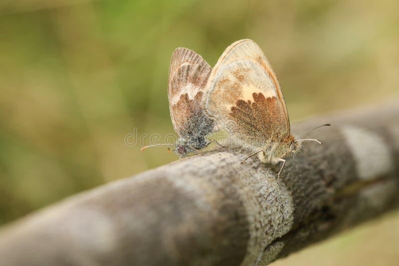 Een het koppelen paar van Kleine Heath Butterfly Coenonympha-pamphilus streek op een tak neer stock foto