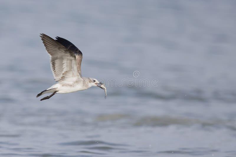 Een het lachen atricilla van meeuwleucophaeus tijdens de vlucht over het strand met overzees op de achtergrond stock fotografie