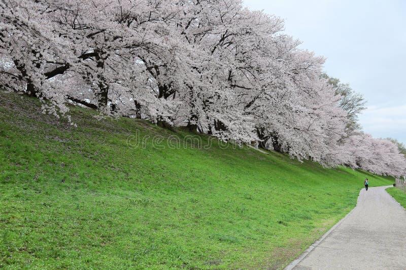 Een het lopen weg door rivierbank met een romantische overwelfde galerij van mooie Sakura komt tot bloei stock foto