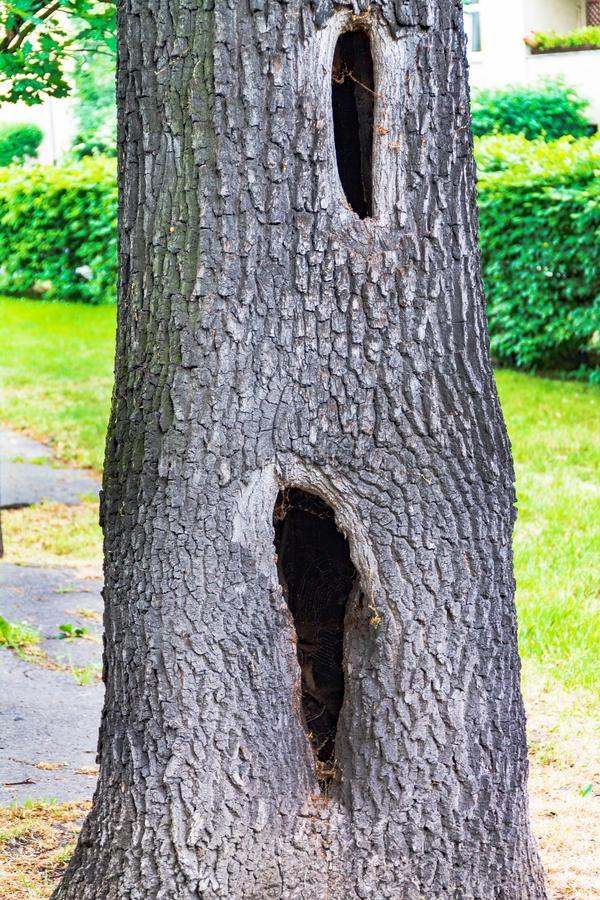 Een holte in een boom, een zieke boom, een gat in de schors stock afbeelding