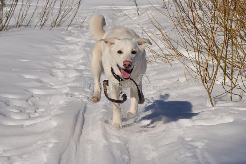 Een hond die in de sneeuw lopen stock afbeeldingen