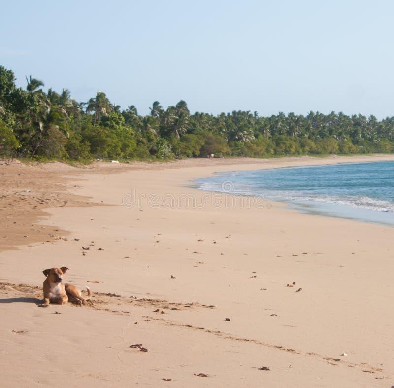 Een hond die op een strand in Uoleva in Tonga liggen stock fotografie