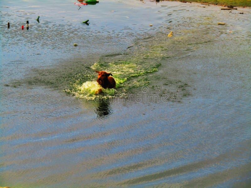 Een hond die in een rivier zwemmen royalty-vrije stock afbeeldingen