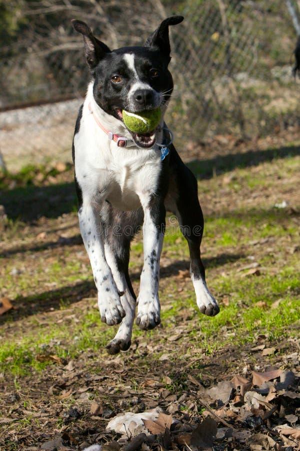 Een hond die voor een bal springt stock foto