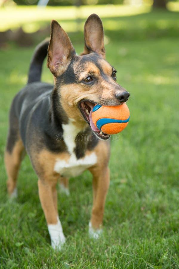 Een hond en zijn bal stock foto's