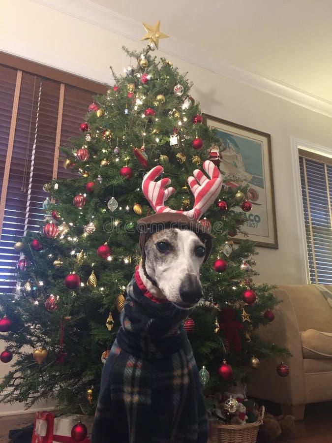 Een hond in Kerstmiskostuum royalty-vrije stock fotografie