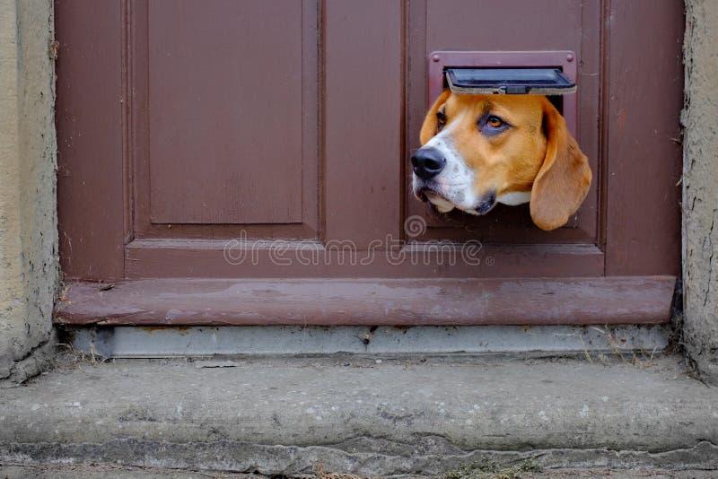 Een hond kijkt door de kattenklep in een deur stock foto