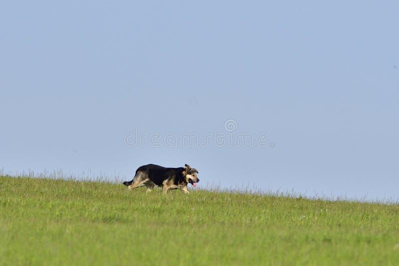 Een hond loopt over een weide stock foto's