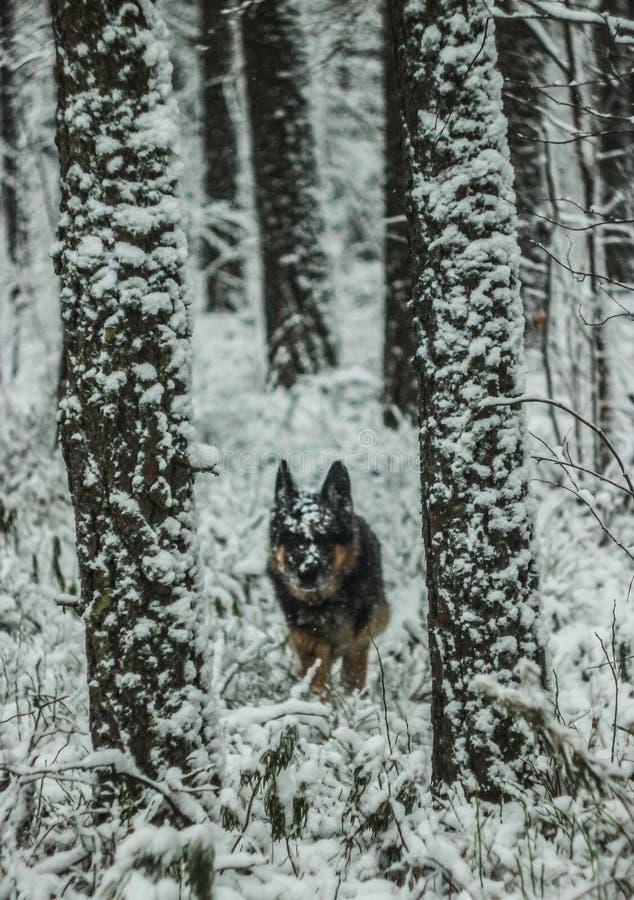 Een hond loopt in een sneeuw de winterbos in aard stock afbeelding