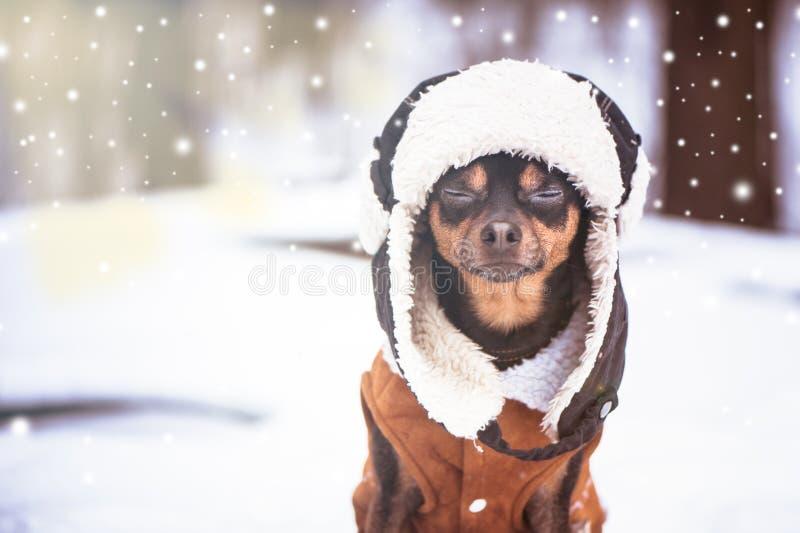 Een hond met gesloten ogen in een hoed en een schapehuid bedekken in wint met een laag stock foto's