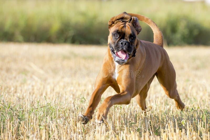 Een hond van het bokser jonge puppy terwijl het lopen stock afbeeldingen