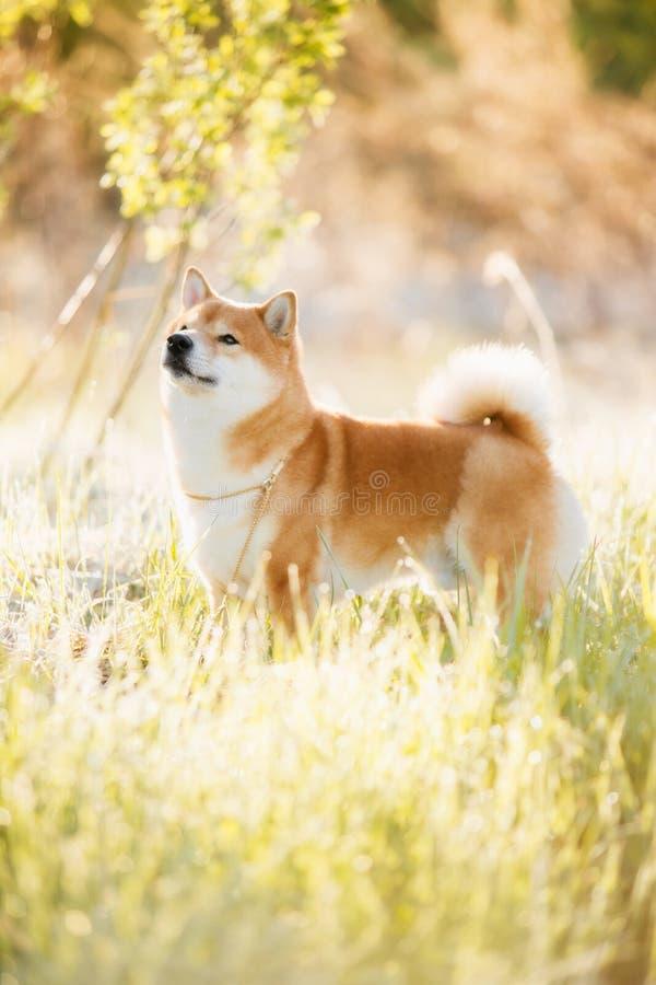 Een hond van het ras van Shiba Inu bevindt zich tegen de achtergrond van het bos royalty-vrije stock afbeeldingen