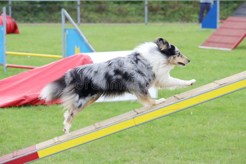 Een hond van Shetland in een behendigheids hondswedstrijd stock afbeelding