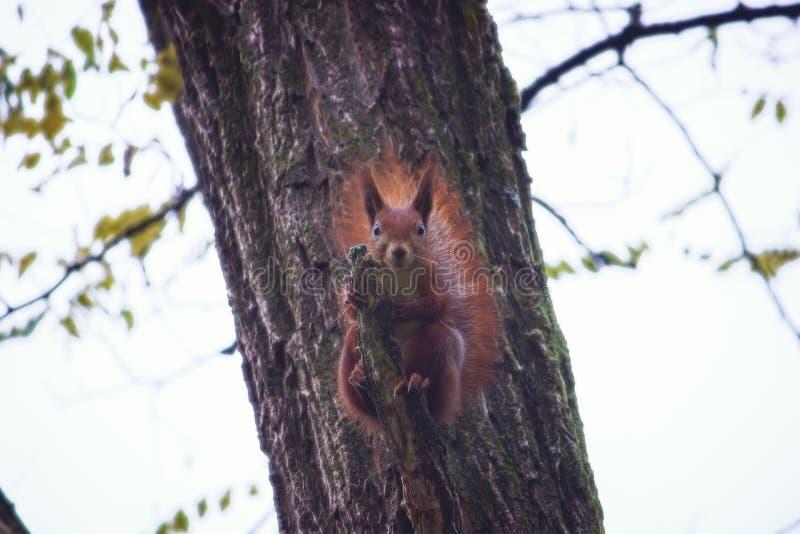 Een hongerige eekhoorn zit op een tak van een de winterboom stock foto