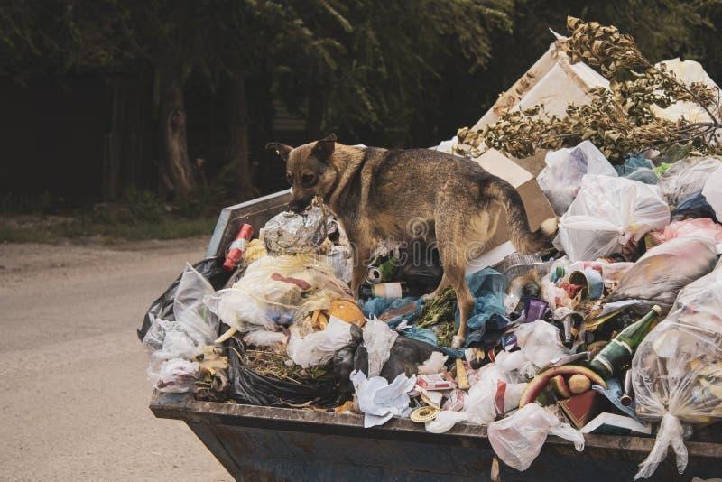 Een hongerige vuile verdwaalde hond beklimt in een grote vuilnisbak en onderzoeken naar voedsel Een berg van niet gereinigd voeds royalty-vrije stock afbeeldingen