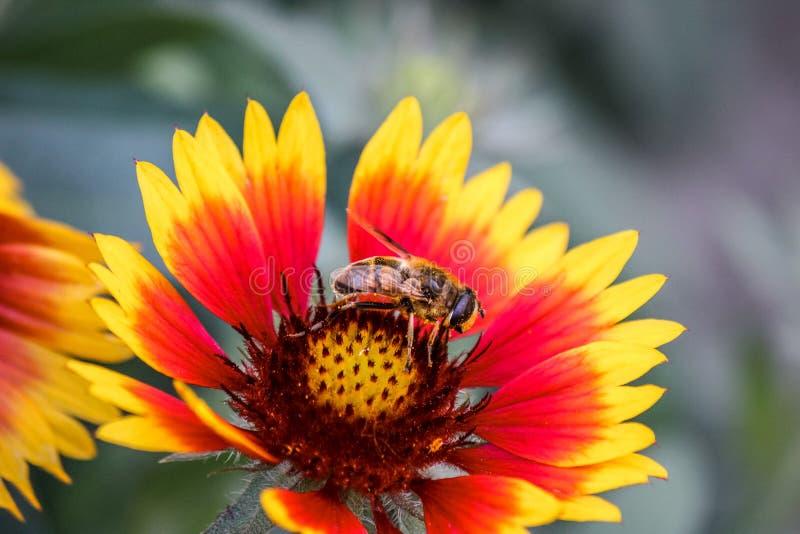 Een honingbij bestuift rode en gele bloem bestuiver Het verzamelen van nectar Overdracht die van stuifmeel bemesting toelaten en royalty-vrije stock foto