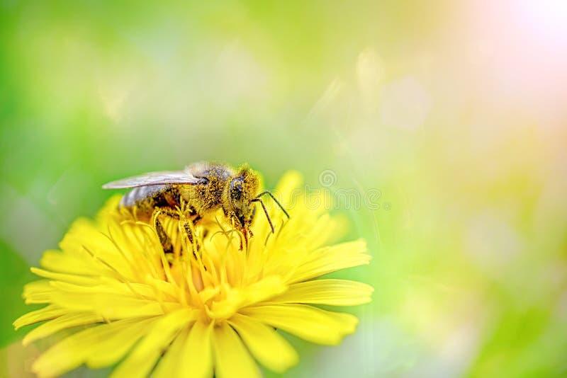 Een honingbij in geel stuifmeel verzamelt nectar van een paardebloembloem op een zonnige de lentedag De de lentetijd… nam bladere royalty-vrije stock afbeelding