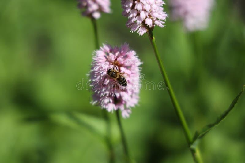 Een honingbij op de duizendknope bloem royalty-vrije stock foto's