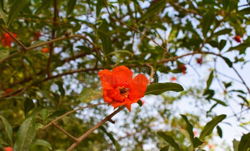 Een honingbij op een granaatappelbloem stock afbeeldingen