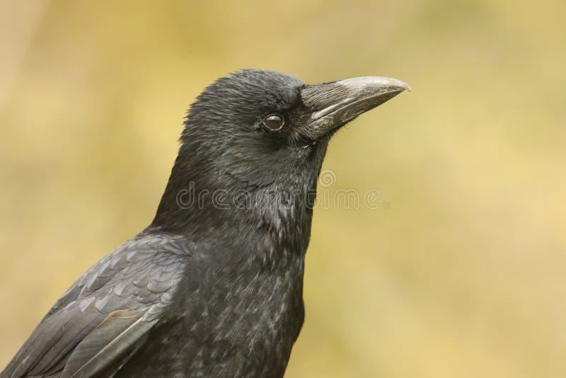Een hoofd van een het overweldigen Carrion Crow Corvus corone wordt geschoten die stock foto's