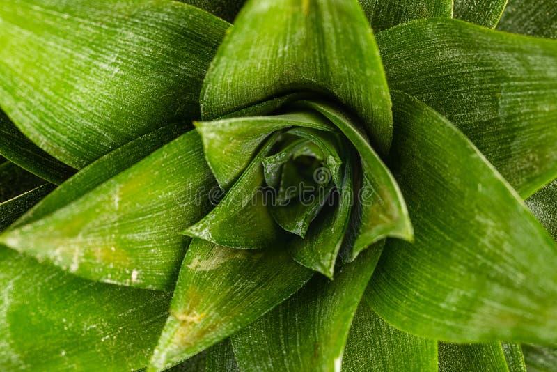 Een hoogste macro onderaan mening van de kroon van een ananas royalty-vrije stock foto's