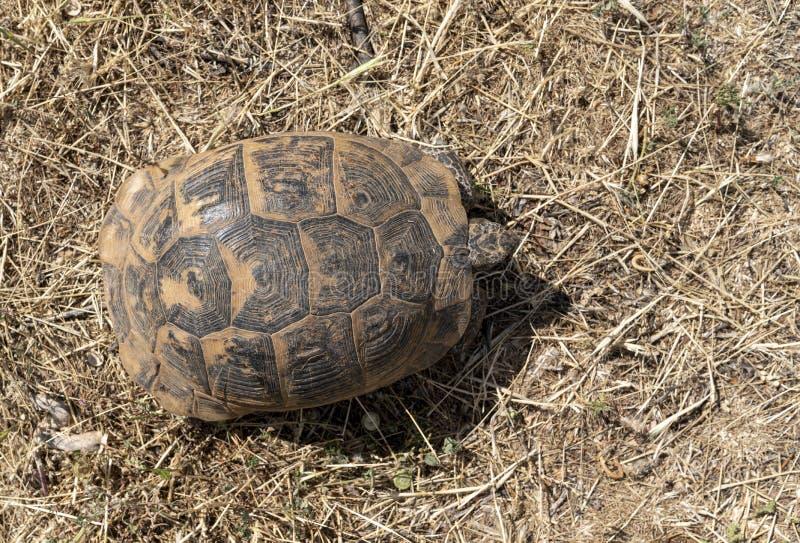 Een hoogste mening van wilde schildpad die vrij in Centraal Turkije zwerven stock foto